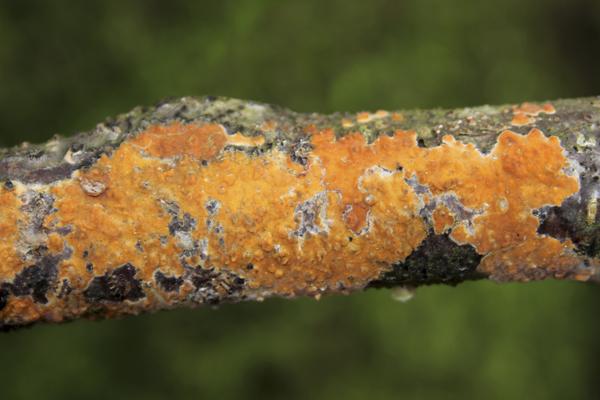 MNA Brockholes Peniophora incarnata1