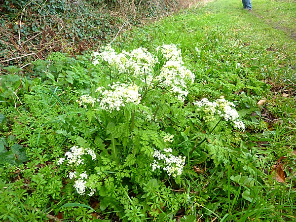 11 Wirral Way Cow Parsley