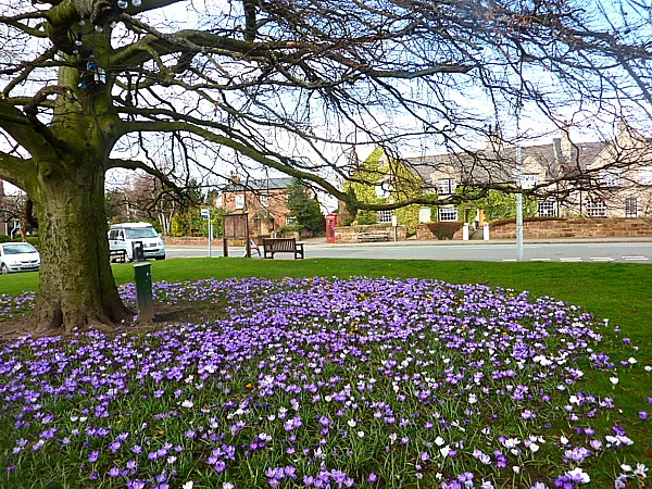 11 Wirral Way crocuses