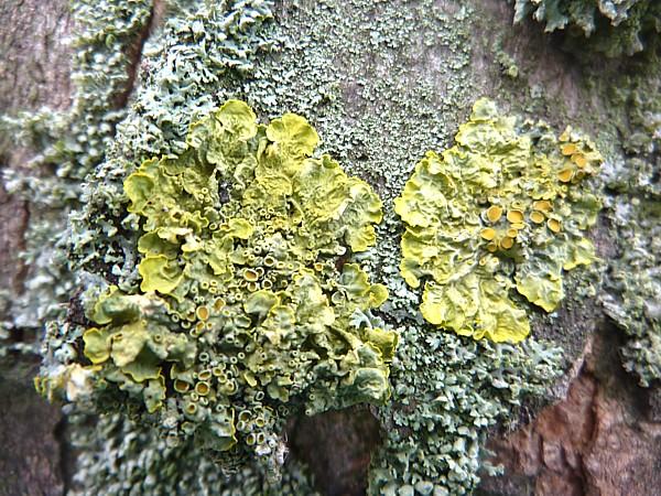 12 Everton lichen
