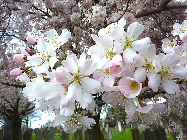 14 Stanley cherry blossom