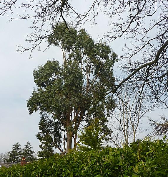 15 Thornton eucalyptus