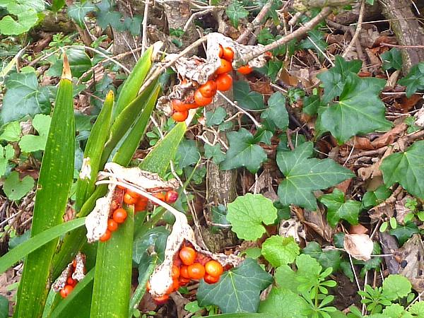 15 Thornton iris seeds