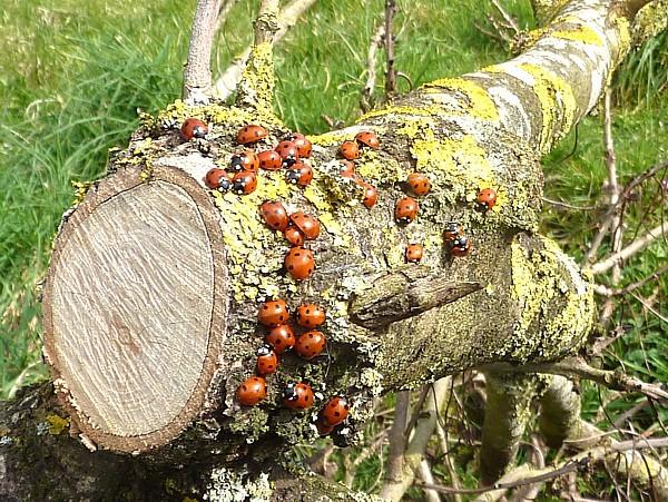 15 Thornton ladybird cluster