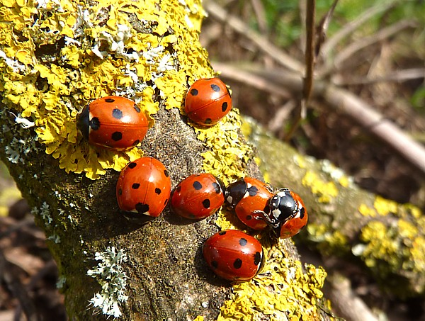 15 Thornton ladybirds mating