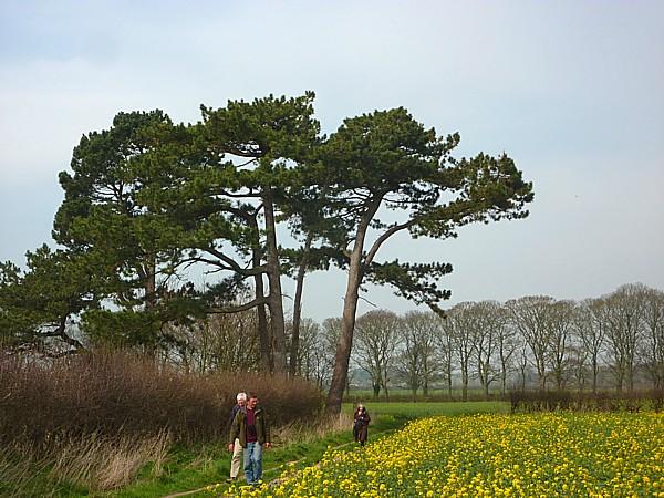 15 Thornton pines