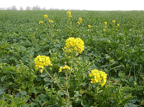 15 Thornton rape flower