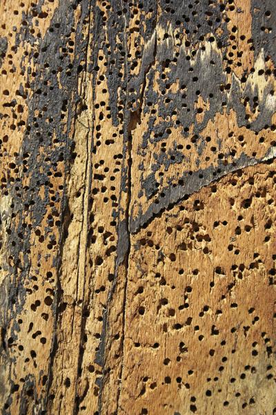 MNA Eastham Beetle Holes1