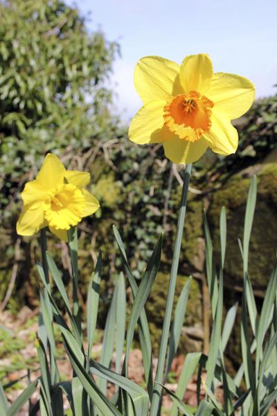 MNA Eastham Daffodils1