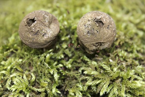 MNA Eastham Mature Puffballs1
