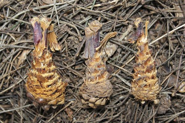 MNA Eastham Squirrel Cones1