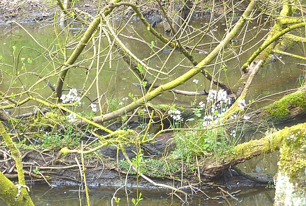 16 Dibbinsdale cuckoo flower