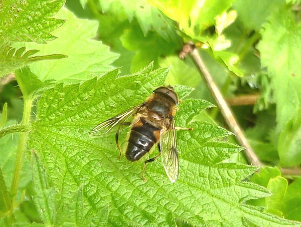 16 Dibbinsdale fly