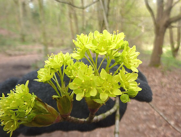 16 Dibbinsdale maple flowers
