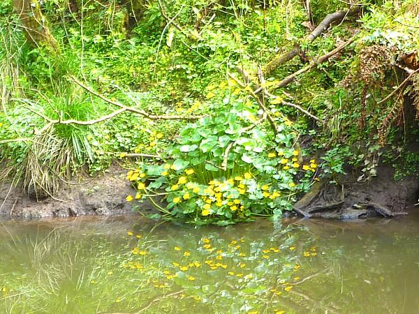 16 Dibbinsdale marsh marigold