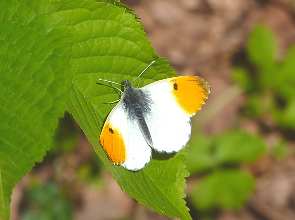 16 Dibbinsdale orange tip