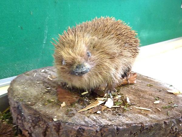 16 Dibbinsdale stuffed hedgehog