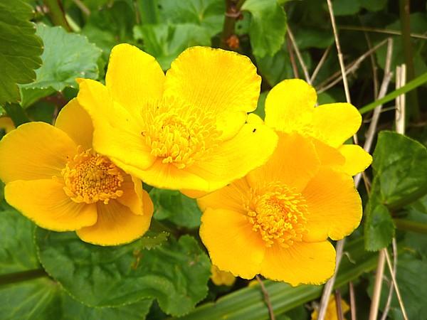 17 Waterfront marsh marigolds