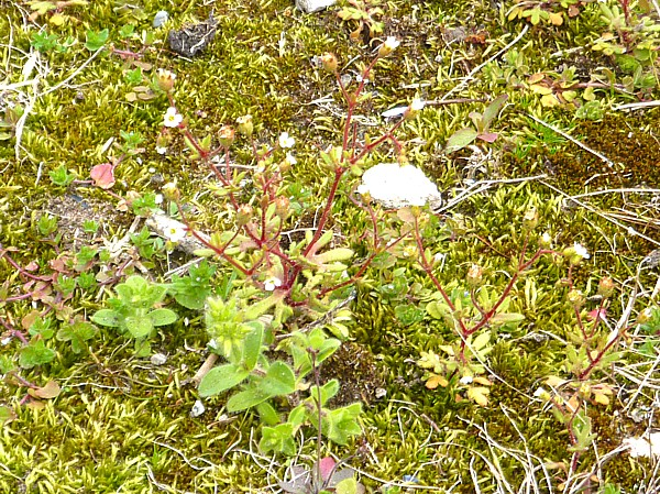 17 Waterfront rue-leaved saxifrage