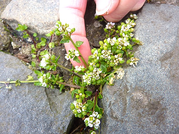 17 Waterfront scurvy grass