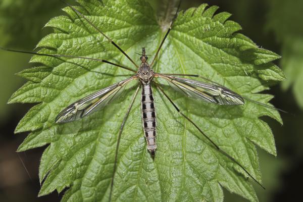 MNA White Coppice Cranefly Tipula vittata1