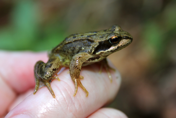 MNA White Coppice Frog1