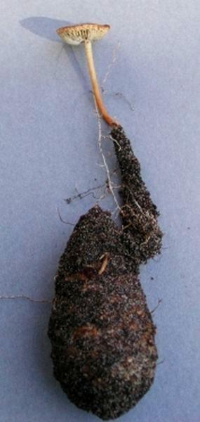 Strobilurus tenacellus