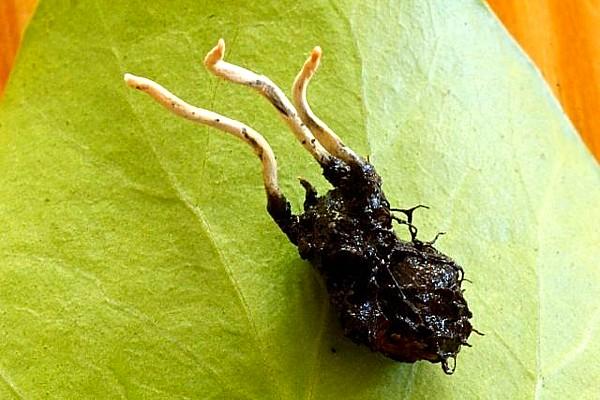 Xylaria oxycanthae- Freshfield April 14