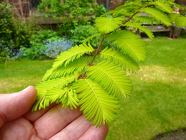 18 Chester Dawn Redwood leaves