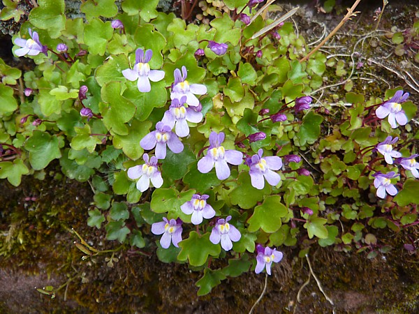 18 Chester Ivy leaved toadflax