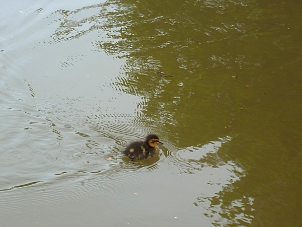 18 Chester lost duckling
