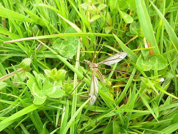 19 Lydiate Cranefly
