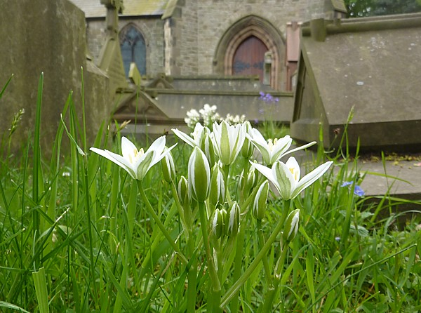19 Lydiate Star of Bethlehem