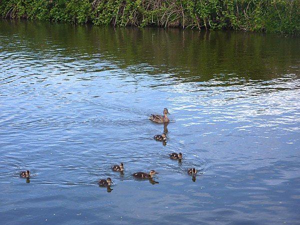 19 Lydiate seven ducklings