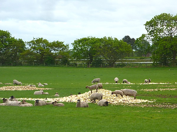 19 Lydiate sheep and cabbages