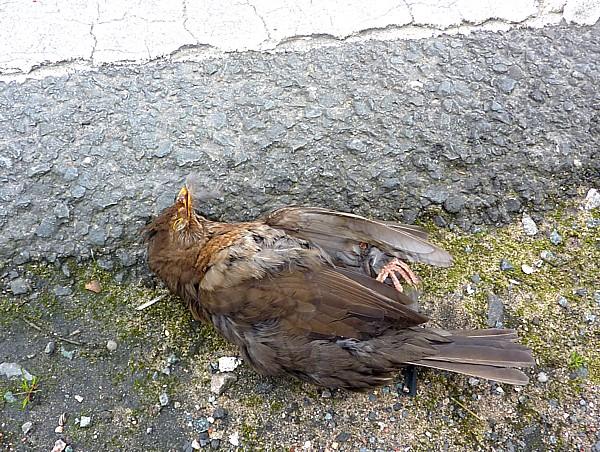 20 TPT1 blackbird