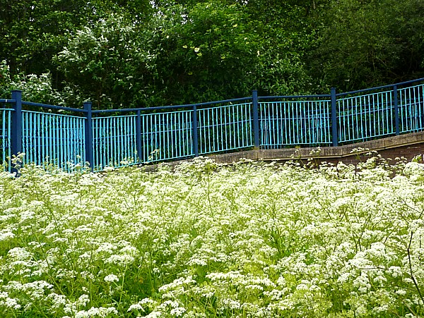 22 Canal Cow Parsley