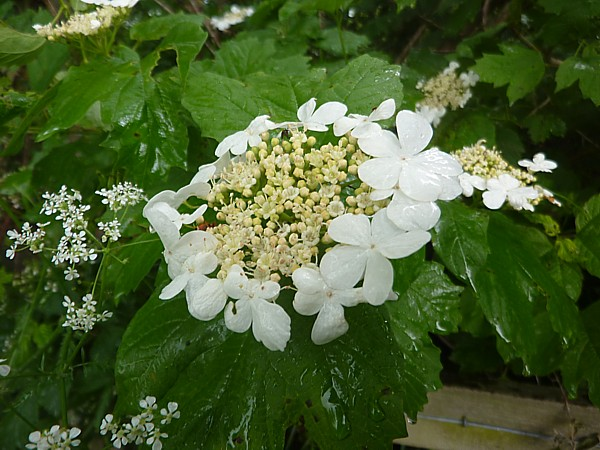 22 Canal Guelder rose