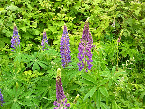 22 Canal Lupins