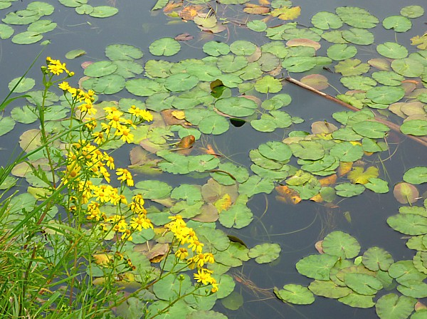 22 Canal Ragwort and lily pads