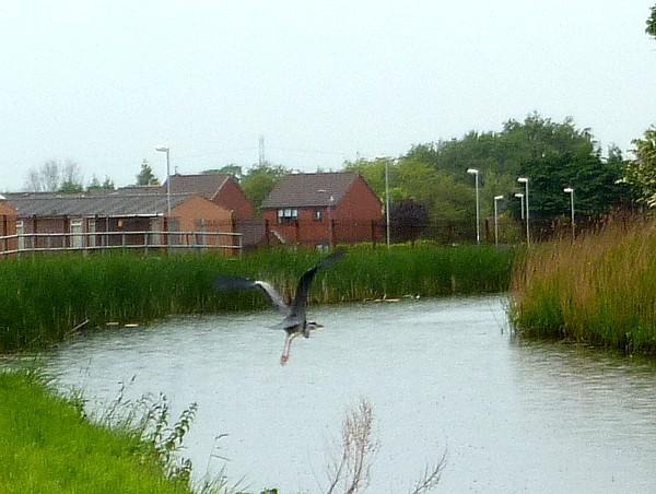 22 Canal heron in flight