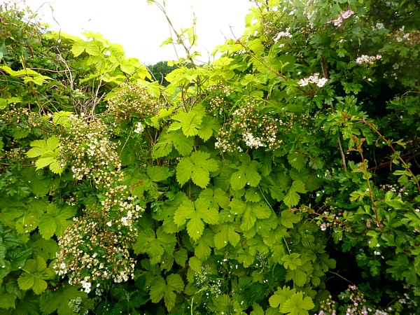 23 Cronton hop hedge