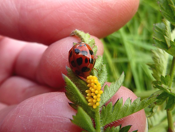 23 Cronton ladybird and eggs