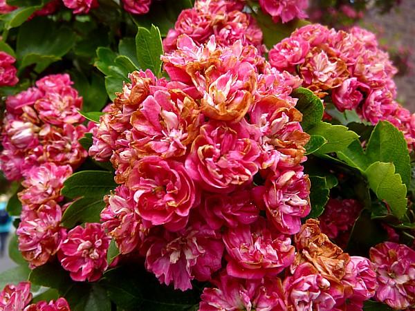 23 Cronton pink hawthorn