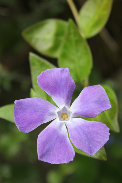 MNA Cilcain Greater Periwinkle