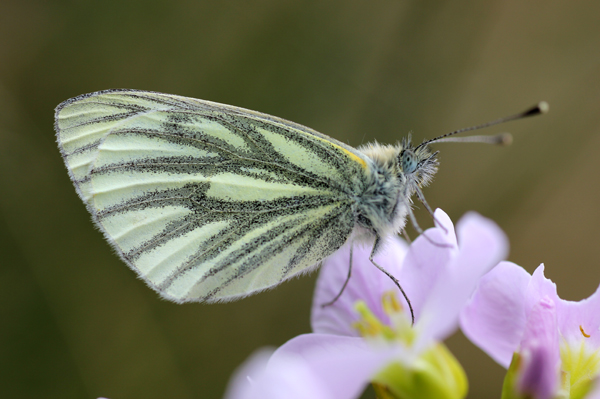 MNA Cilcain Green Veined White1