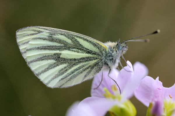 MNA Cilcain Green Veined White1