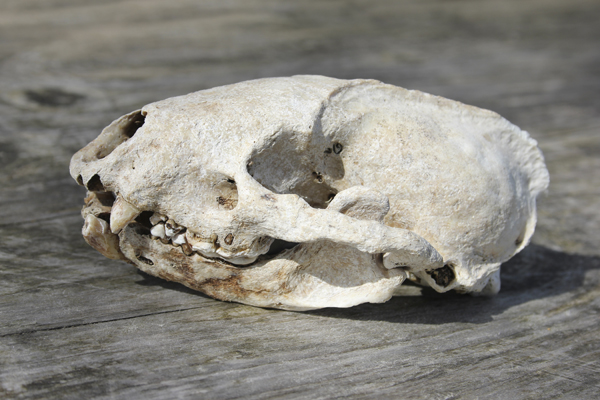 MNA Coombes Valley Badger Skull1