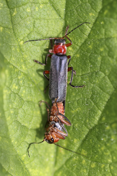 MNA Coombes Valley Mating Soldier Beetles1