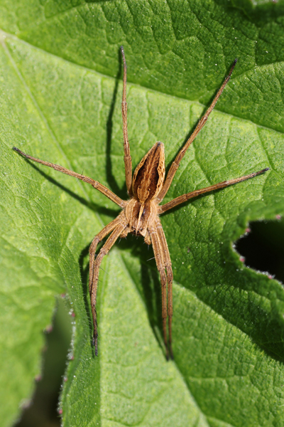 MNA Coombes Valley Nursery Spider1